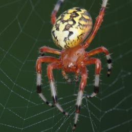 Featured spider picture of Araneus marmoreus (Marbled Orb-weaver)