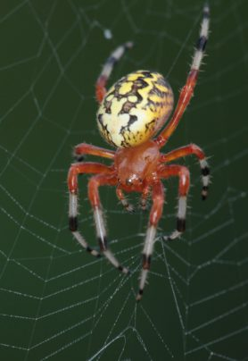 Picture of Araneus marmoreus (Marbled Orb-weaver) - Female - Dorsal