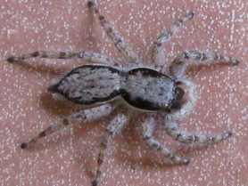 Picture of Menemerus bivittatus (Gray Wall Jumper) - Female - Dorsal