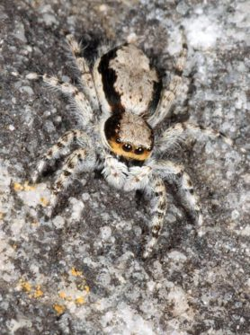 Picture of Menemerus bivittatus (Gray Wall Jumper) - Female - Dorsal,Eyes
