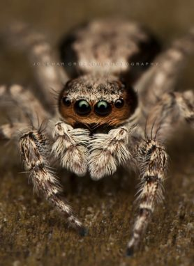 Picture of Menemerus bivittatus (Gray Wall Jumper) - Female - Eyes
