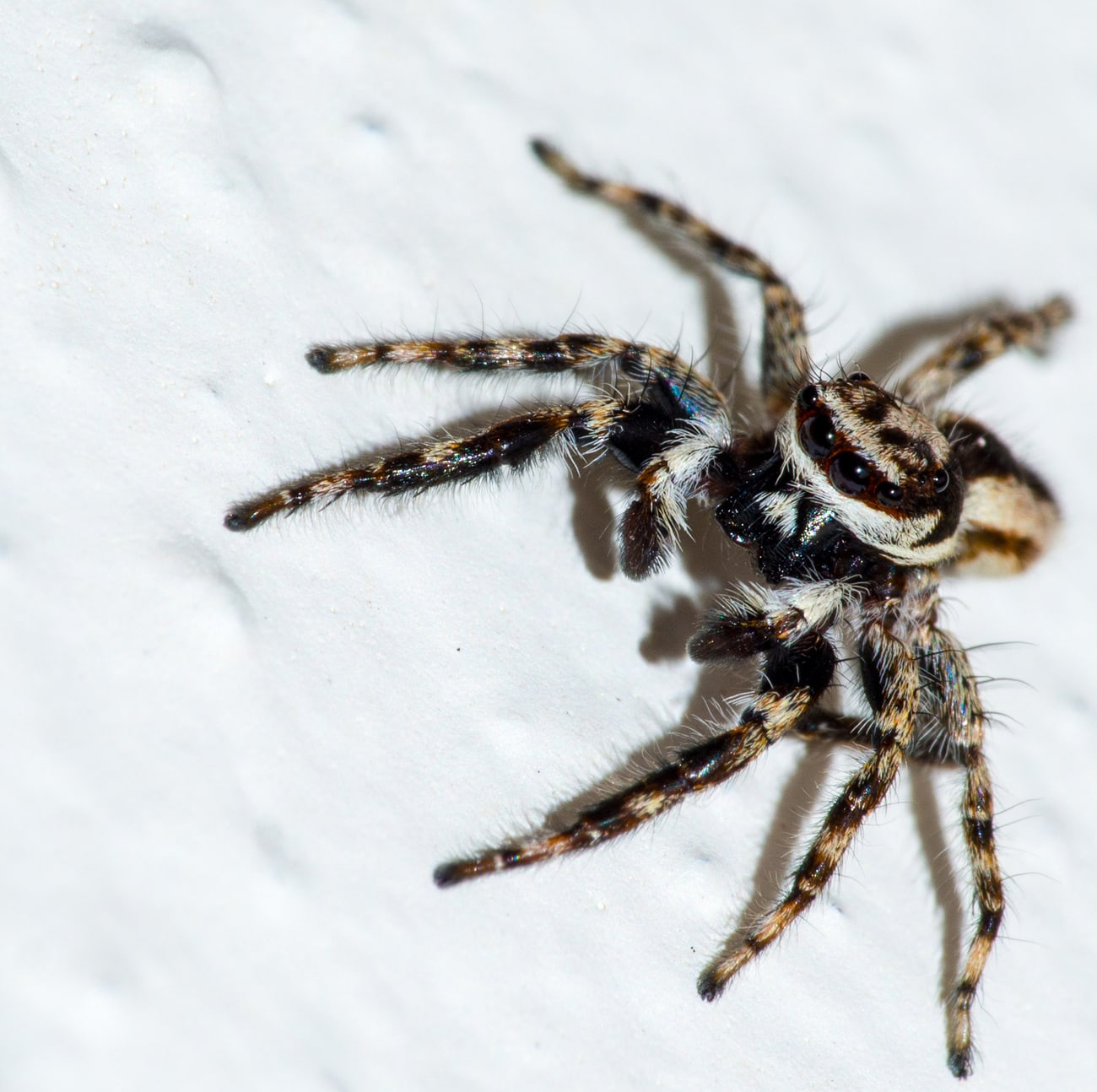 Picture of Menemerus bivittatus (Gray Wall Jumper) - Male - Eyes