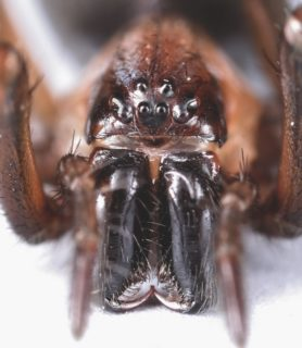 Picture of Metaltella simoni (Hacklemesh Weaver) - Female - Eyes