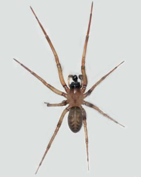 Picture of Metaltella simoni (Hacklemesh Weaver) - Male - Dorsal