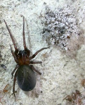 Picture of Metaltella simoni (Hacklemesh Weaver) - Female - Dorsal,Egg Sacs