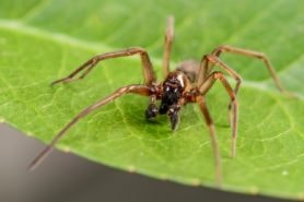 Picture of Metaltella simoni (Hacklemesh Weaver) - Male - Eyes