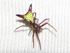 Picture of Micrathena sagittata (Arrow-shaped Micrathena) - Female - Dorsal