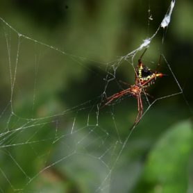Picture of Micrathena sagittata (Arrow-shaped Micrathena) - Female - Ventral,Webs
