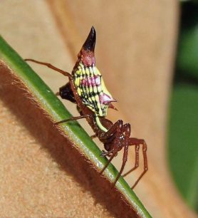 Picture of Micrathena sagittata (Arrow-shaped Micrathena) - Female - Lateral
