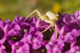 Picture of Misumena vatia (Golden-rod Crab Spider) - Male,Female - Dorsal,Lateral