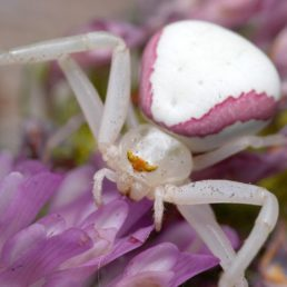 Featured spider picture of Misumena vatia (Golden-rod Crab Spider)