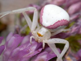 Picture of Misumena vatia (Golden-rod Crab Spider) - Female - Dorsal,Eyes