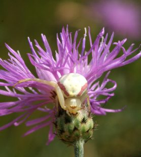 Picture of Misumena vatia (Golden-rod Crab Spider) - Female - Dorsal