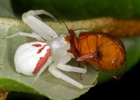 Picture of Misumena vatia (Golden-rod Crab Spider) - Female - Lateral,Prey