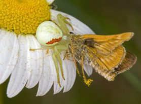 Picture of Misumena vatia (Golden-rod Crab Spider) - Female - Dorsal,Prey