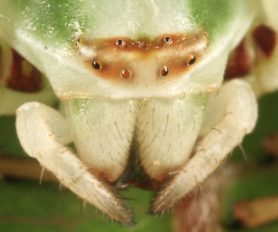 Picture of Misumenoides formosipes (White-banded Crab Spider) - Female - Eyes