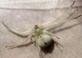 Picture of Misumenoides formosipes (White-banded Crab Spider) - Female - Ventral