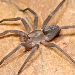 Featured spider picture of Ctenus exlineae