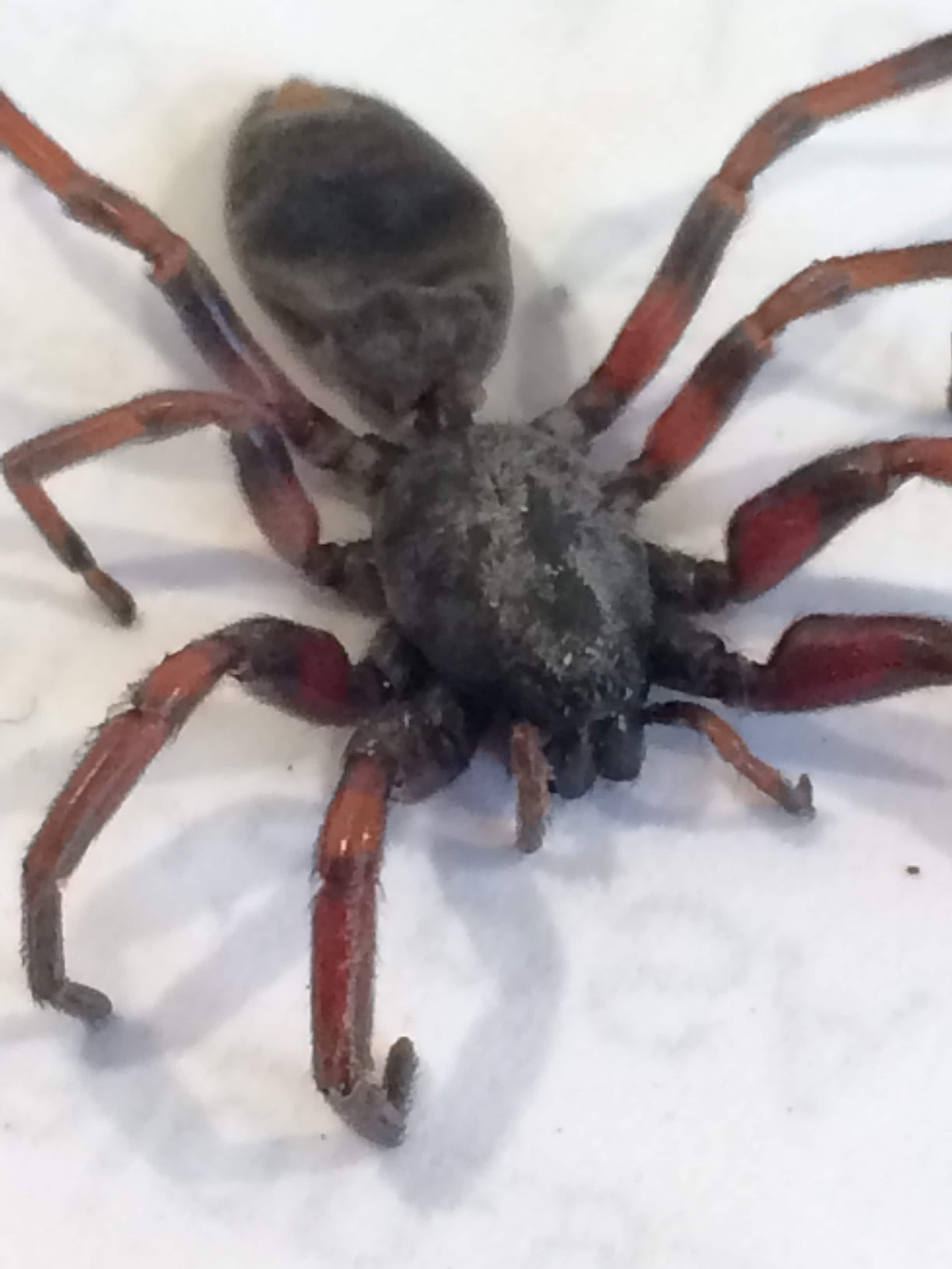 Picture of Lampona (White-tailed Spiders) - Dorsal