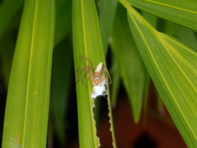 Picture of Oxyopes spp. - Eyes,Webs