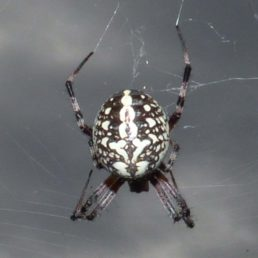Featured spider picture of Neoscona oaxacensis (Western Spotted Orb-weaver)