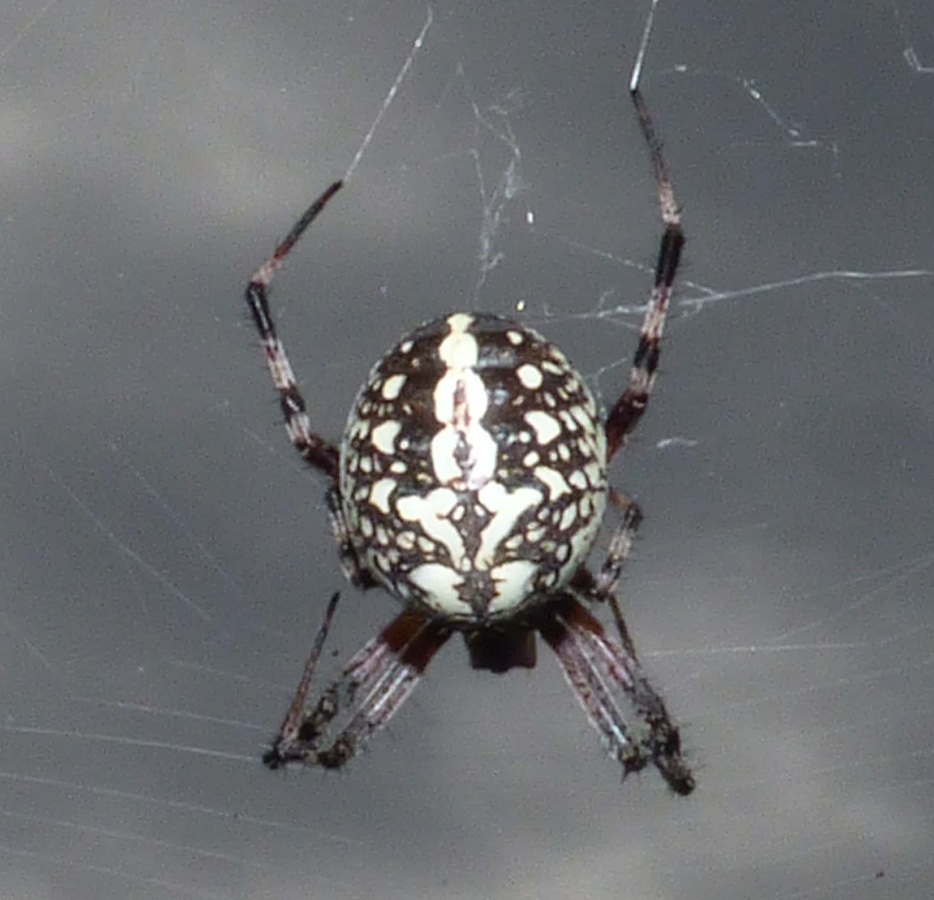 Picture of Neoscona oaxacensis (Western Spotted Orb-weaver) - Female - Dorsal,Webs