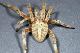 Picture of Neoscona crucifera (Hentz Orb-weaver) - Female - Dorsal
