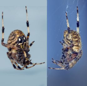 Picture of Neoscona crucifera (Hentz Orb-weaver) - Female - Lateral,Ventral