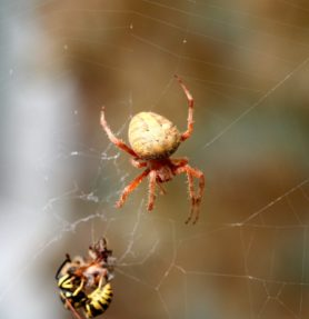 Picture of Neoscona crucifera (Hentz Orb-weaver) - Female - Dorsal,Webs,Prey