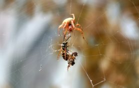 Picture of Neoscona crucifera (Hentz Orb-weaver) - Female - Eyes,Webs,Prey