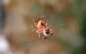 Picture of Neoscona crucifera (Hentz Orb-weaver) - Female - Ventral,Webs,Prey