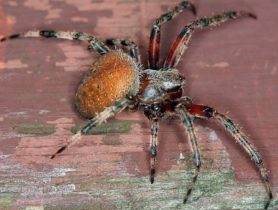 Picture of Neoscona crucifera (Hentz Orb-weaver) - Female - Lateral