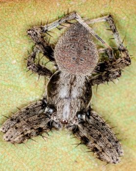 Picture of Neoscona crucifera (Hentz Orb-weaver) - Male - Dorsal
