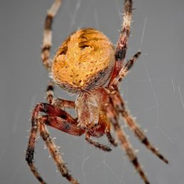 Featured spider picture of Neoscona crucifera (Hentz Orb-weaver)