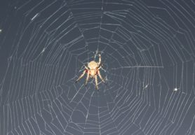 Picture of Neoscona crucifera (Hentz Orb-weaver) - Female - Dorsal,Webs