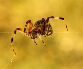 Picture of Neoscona crucifera (Hentz Orb-weaver) - Female - Eyes,Lateral