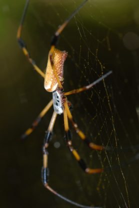 Picture of Nephila clavipes (Golden Silk Orb-weaver) - Female - Lateral,Webs