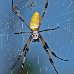 Featured spider picture of Nephila clavipes (Golden Silk Orb-weaver)