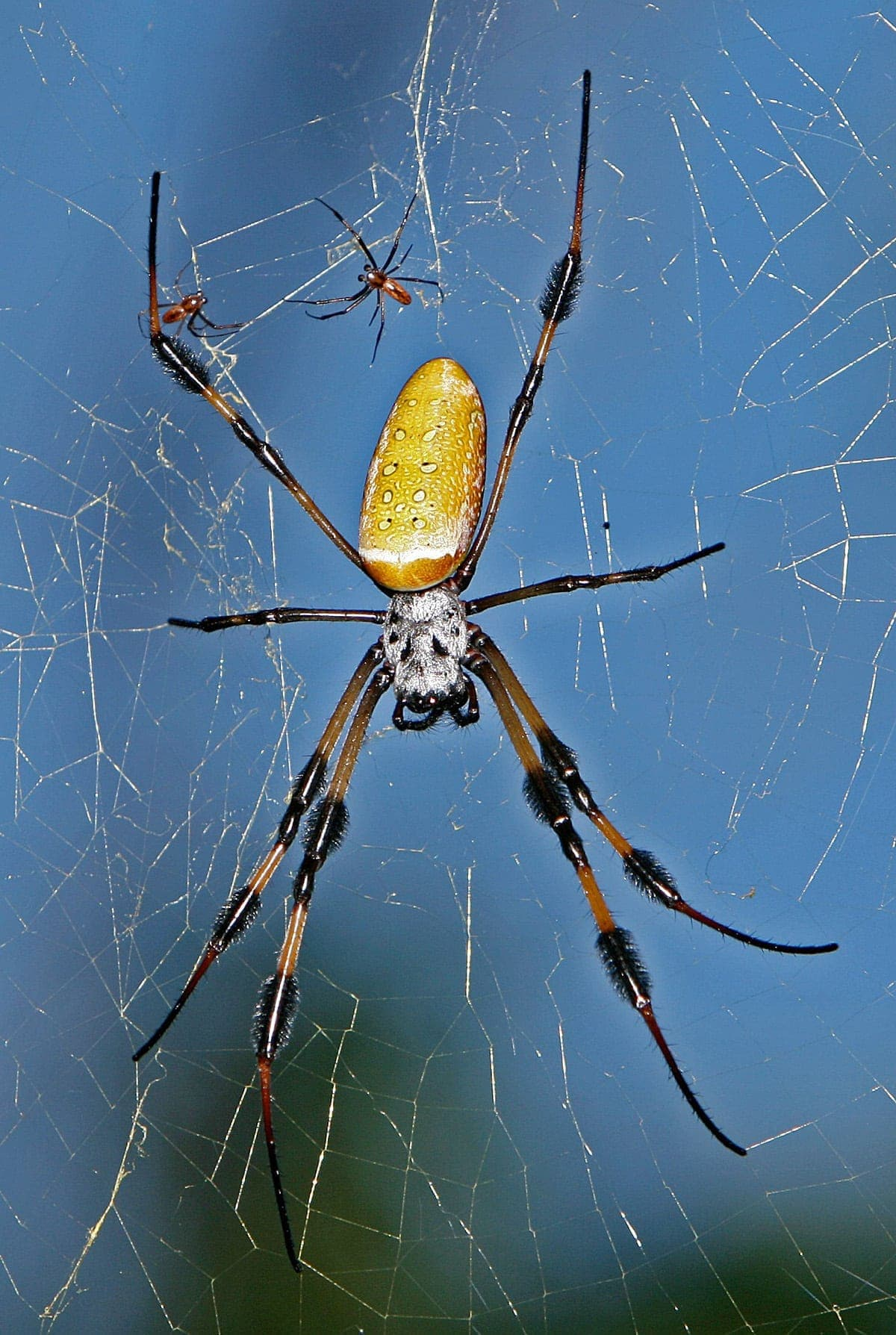 Picture of Trichonephila clavipes (Golden Silk Orb-weaver) - Male,Female - Dorsal,Webs