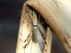 Picture of Trichonephila clavipes (Golden Silk Orb-weaver) - Female - Dorsal