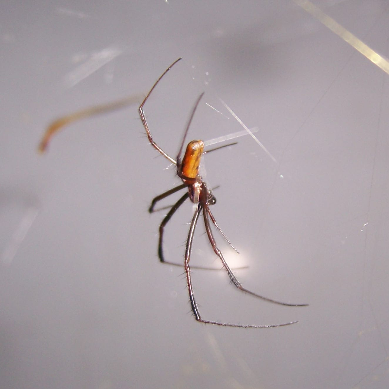 Picture of Trichonephila clavipes (Golden Silk Orb-weaver) - Male - Lateral