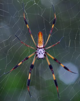 Picture of Nephila clavipes (Golden Silk Orb-weaver) - Female - Dorsal,Webs