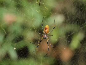 Picture of Trichonephila clavipes (Golden Silk Orb-weaver) - Female - Ventral,Webs
