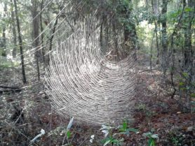 Picture of Nephila clavipes (Golden Silk Orb-weaver) - Webs