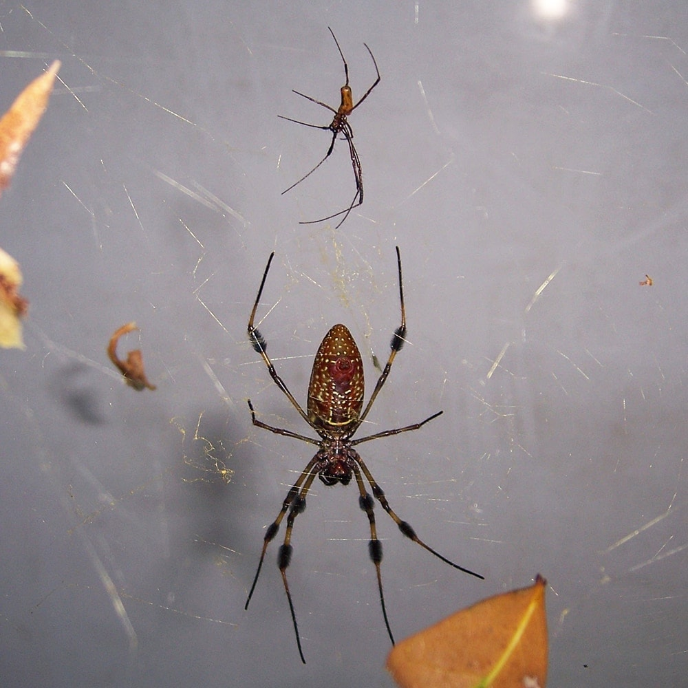 Picture of Trichonephila clavipes (Golden Silk Orb-weaver) - Male,Female - Ventral