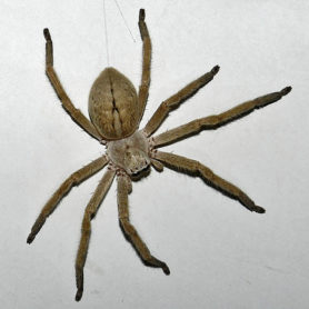 Picture of Olios giganteus (Giant Crab Spider) - Female - Dorsal