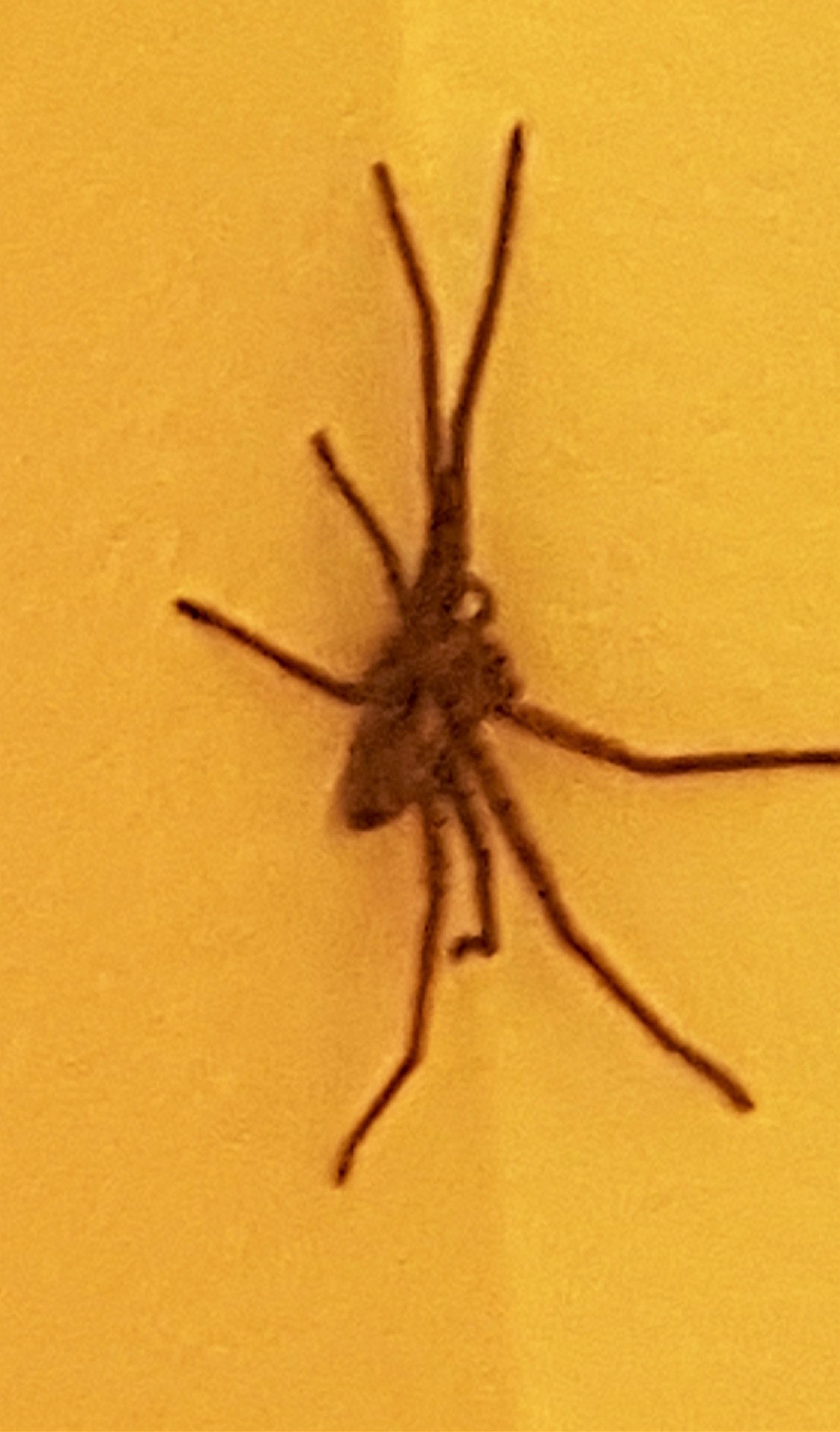 Picture of Heteropoda venatoria (Huntsman Spider) - Dorsal