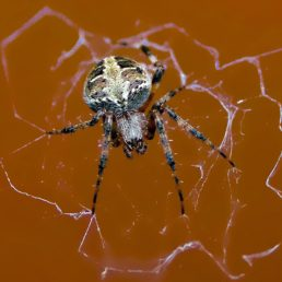 Featured spider picture of Neoscona domiciliorum (Spotted Orb-weaver)