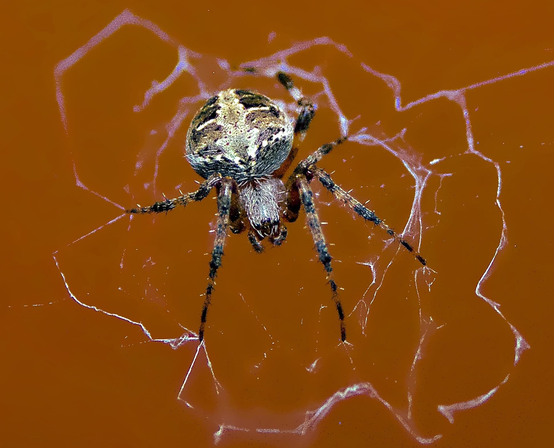 Picture of Neoscona domiciliorum (Spotted Orb-weaver) - Female - Dorsal,Eyes