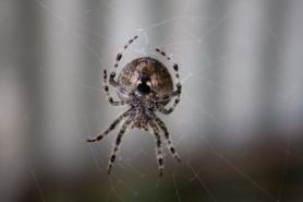 Picture of Araneus spp. (Angulate & Round-shouldered Orb-weavers) - Female - Ventral,Webs